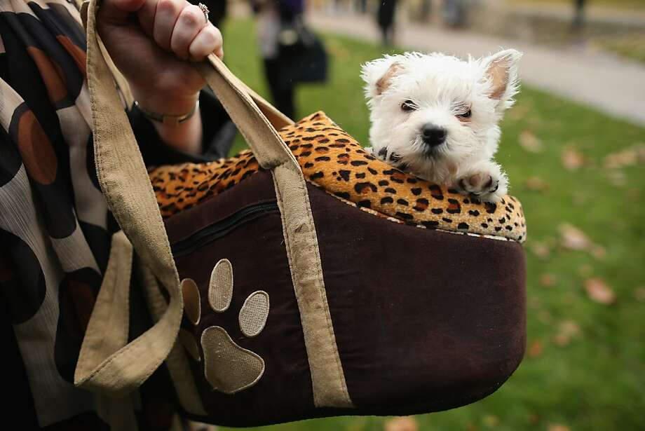 Yes, I'm aware that my ears don't match:I'm still way cuter than Paris Hilton's handbag Chihuahua. (Westminster Dog of The Year competition in London.) Photo: Dan Kitwood, Getty Images