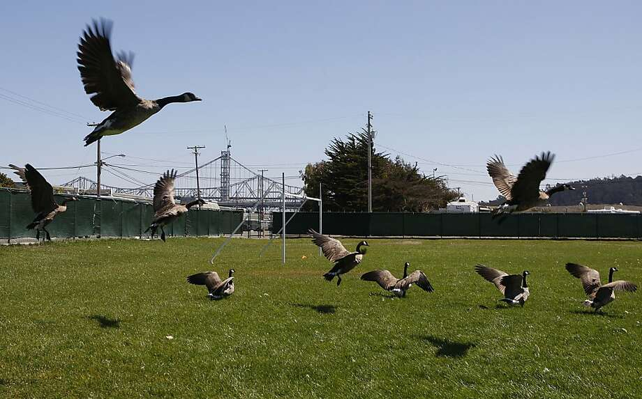Geese fly onto a field on Treasure Island near the Boys and Girls Club, one of the areas that was tested. Photo: Liz Hafalia, The Chronicle
