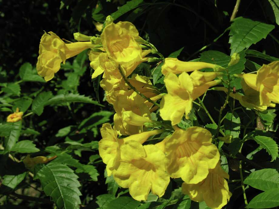 Esperanza or Yellow Bells