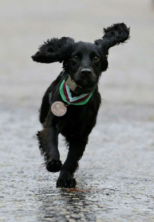 Grace, a search dog with the British army, runs towards a handler during a photo-opportunity, wearing a Dickin Medal, Britain's highest award for bravery by animals – that was posthumously awarded to Theo, a bomb-sniffing army dog, following a special ceremony held at Wellington Barracks, in central London, Thursday, Oct. 25, 2012. Theo, a Springer Spaniel, worked alongside Lance Cpl. Liam Tasker, searching out roadside bombs in the Taliban stronghold of Helmand Province.  Tasker was killed in a firefight with insurgents in March 2011, and Theo suffered a fatal seizure hours later. It is the highest award any animal can receive while serving in military conflict. Photo: Lefteris Pitarakis, Associated Press / AP