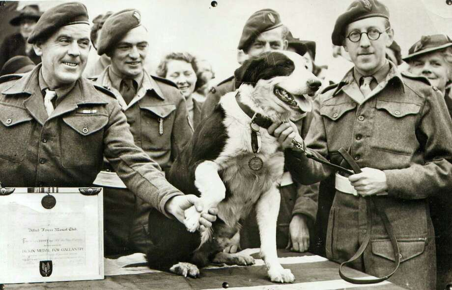 In this photo released Thursday Oct. 25, 2012 by The People's Dispensary for Sick Animals (PDSA) who are the awarding body responsible for the Dickin Medal for animal gallantry. Crossbred collie dog named Rob, that made over 20 parachute jumps while on secret war-work, and took part in the North African landings, after being presented with the Dickin Medal for animal gallantry, in this Feb. 13, 1945 file photo. Photo: Associated Press / People's Dispensary for Sick Ani