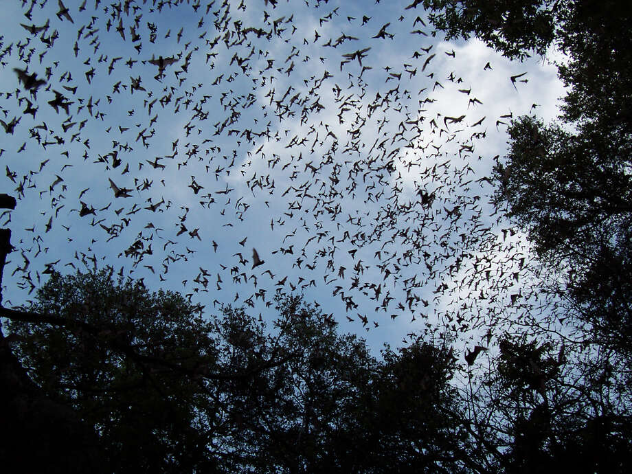 Each Mexican free-tailed bat will consume about half its body weight in insects each night. Photo: NYTA BROWN