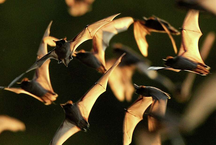 Mexican free-tailed bats, their wings translucent in the evening sky, emerge from the Bracken Bat Cave. Bat Conservation International. Photo: BILLY CALZADA, STAFF / gcalzada@express-news.net