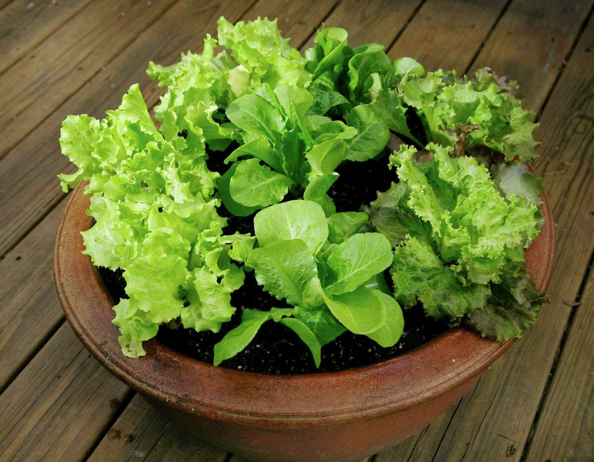 Salad-lovers can grow a variety of lettuce types in containers on decks and patios.
