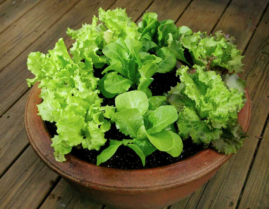Salad-lovers can grow a variety of lettuce types in containers on decks and patios. Photo: John Everett, Freelance / Freelance