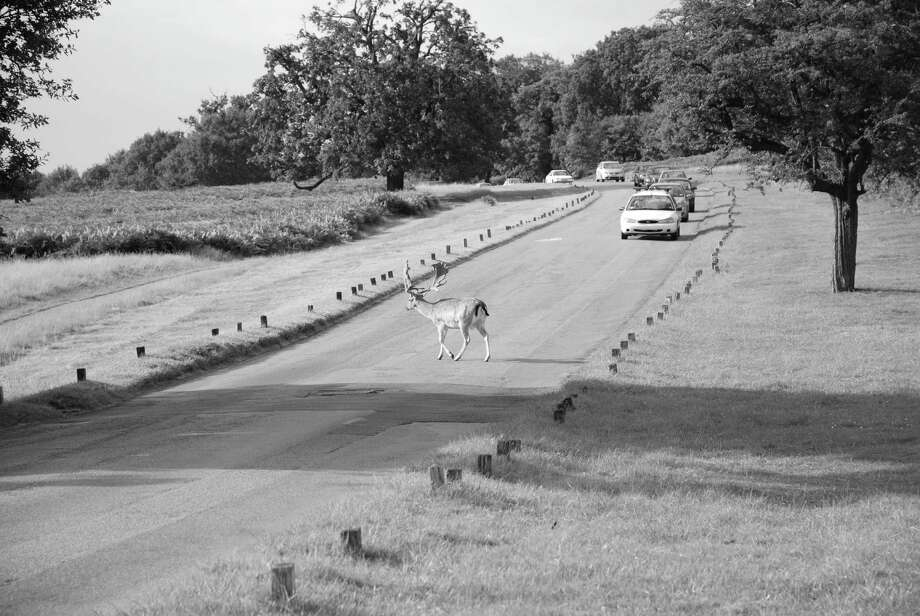 Deer cross the road to get at the opposite sex. (Times Union archi ve) / Andrea Poole - Fotolia