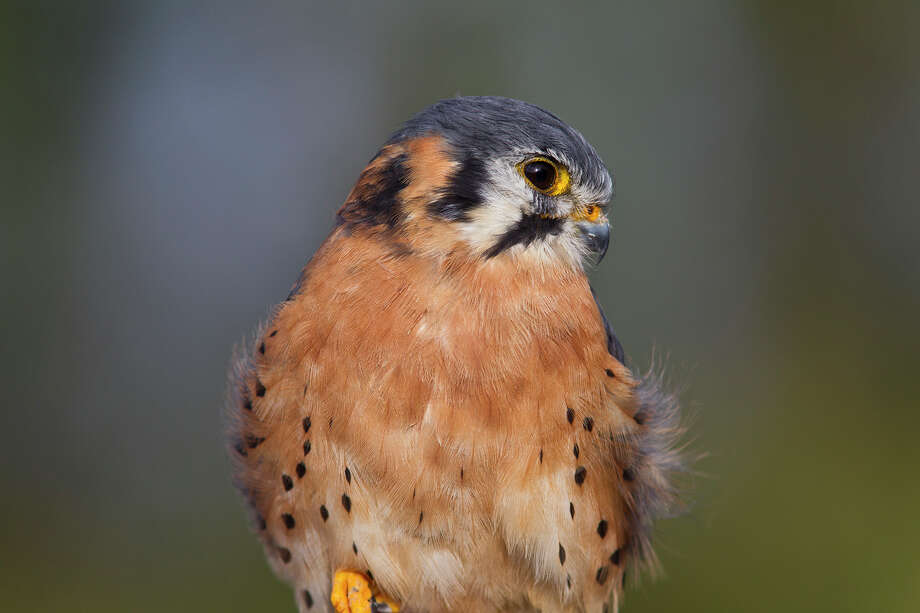 American kestrels, which migrate to Texas for winter, often can be seen perched on power lines near open fields searching for prey. Photo: Kathy Adams Clark / Kathy Adams Clark/KAC Productions