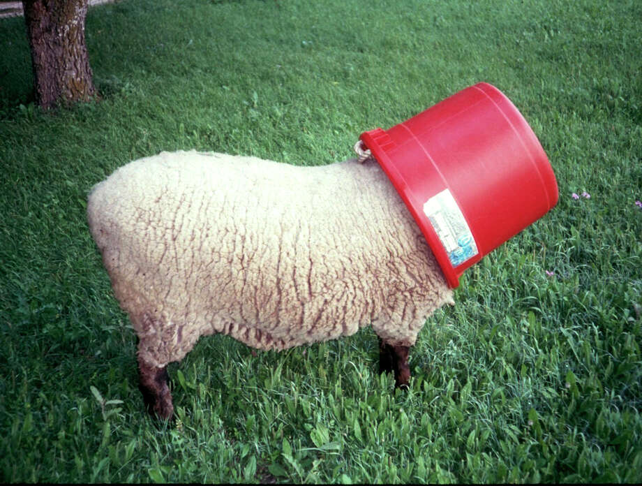 This bossy sheep named Cab sometimes made a fool of herself by selfishly dominating the feed pail. Photo: Forrest  M. Mims III, For The Express-News
