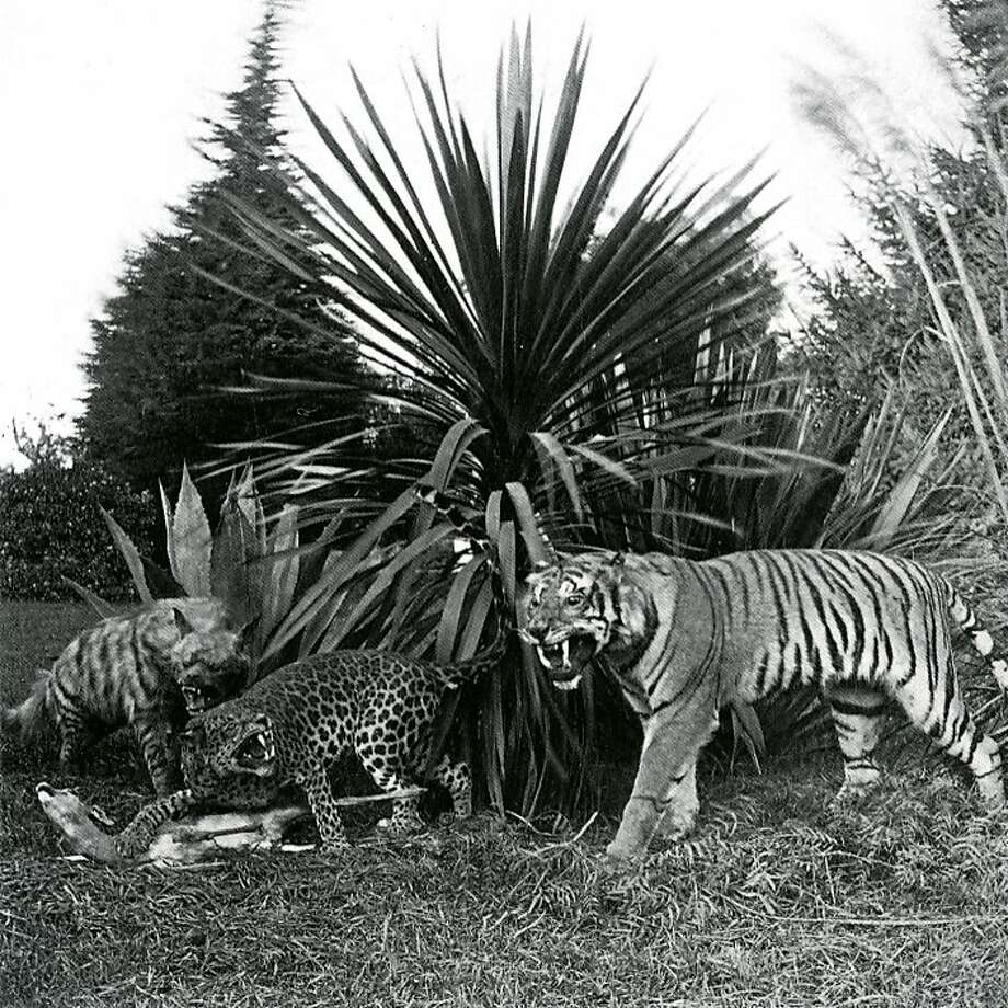 A stuffed tiger, leopard and hyena were among the exhibits at Woodward's Gardens, S.F.'s first amusement park. Photo: Edward J. Muybridge, Marilyn Blaisdell Collection