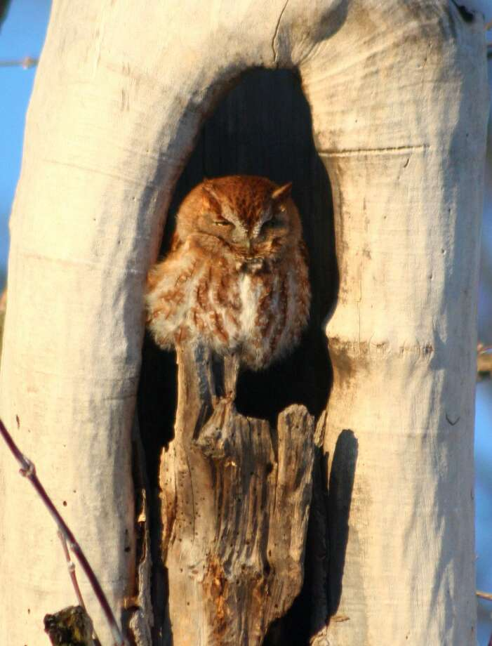 "This red morph screech owl is a new and now frequent visitor to Joe Yetto's home in the Mount View area of the town of Brunswick. ""The funny thing is that the year before we had a gray morph screech owl in the same tree,"" he says. (Joe Yetto)"