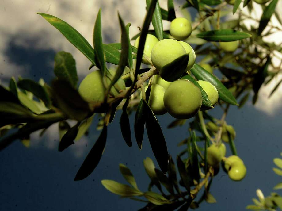 """The Texas Olive Oil Council estimates the state has 50 """"serious"""" olive growers - those cultivating at least 10 acres of land - and 920 acres of olives in production. Photo: BILLY CALZADA, SAEN Staff / San Antonio Express-News"""
