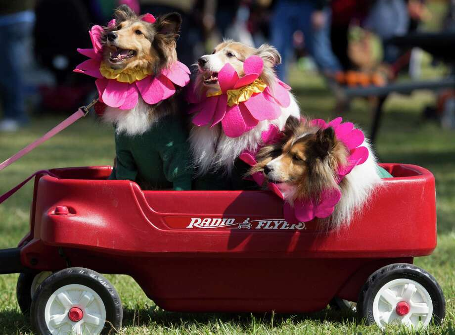 Sheltie dogs named Celie, Emma Lea, and Sophie dress alike as daisies as they ride in style during the fourth annual Howl-O-Ween Fest 2012 at Bridgeland's Oak Meadow Park in Cypress on Saturday, Oct. 27, 2012, in Houston. Photo: J. Patric Schneider, For The Chronicle / © 2012 Houston Chronicle