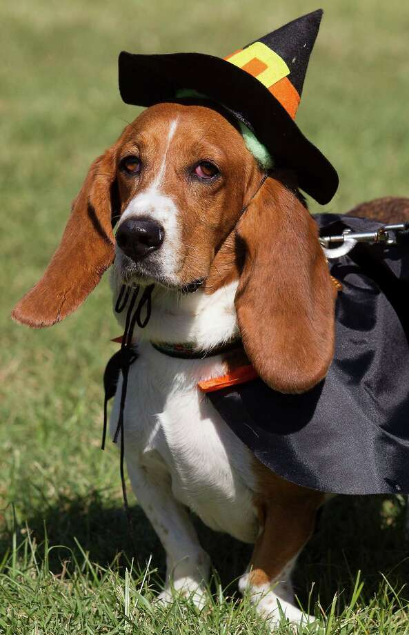 Sampson, a 7-year-old basset hound walks in his witches costume during the fourth annual Howl-O-Ween Fest 2012 at Bridgeland's Oak Meadow Park in Cypress on Saturday, Oct. 27, 2012, in Houston. Photo: J. Patric Schneider, For The Chronicle / © 2012 Houston Chronicle