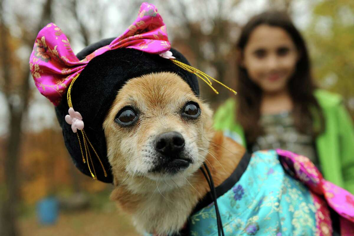 Happy, a chihuahua dressed as Madame Butterfly, gets ready for the costume contest during the Pet Howl-oween Party on Saturday, Oct. 27, 2012, at Riverview Orchards in Rexford, N.Y. Laurie Crisafulli of Schenectady owns Happy. (Cindy Schultz / Times Union)