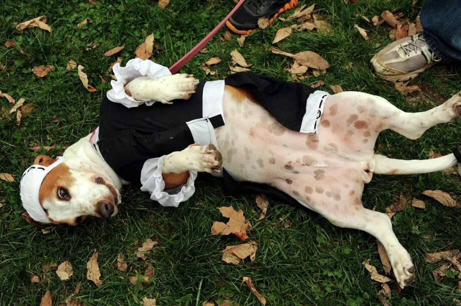 Daisy, dressed as a French maid, scratches an itch before the costume contest during the Pet Howl-oween Party on Saturday, Oct. 27, 2012, at Riverview Orchards in Rexford, N.Y. Michelle and Paul Boyle of Colonie own this basset hound and another one named Annabelle, who was dressed as a firefighter.(Cindy Schultz / Times Union) Photo: Cindy Schultz / 00019796A
