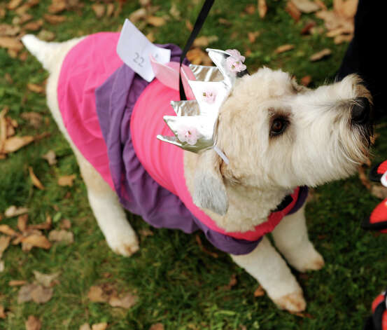 Also in the top 10: Wheaten terrier Photo: Cindy Schultz / 00019796A