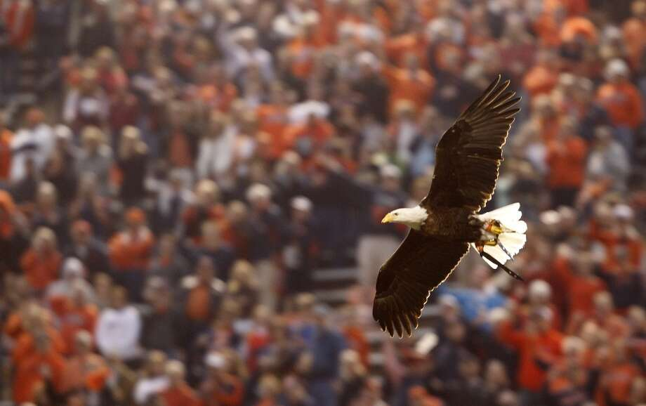 Auburn mascot Spirit, a Bald Eagle, flies over the stadium before an NCAA college football game against Texas A&M, Saturday, Oct. 27, 2012, in Auburn, Ala. (AP Photo/Butch Dill) (Associated Press)