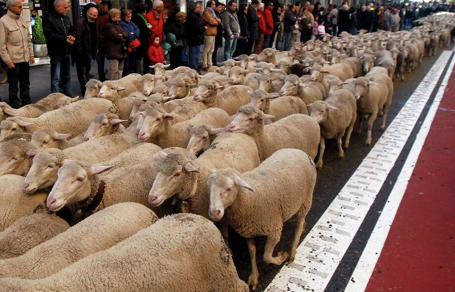 Many tourists and residents were surprised to see traffic cut to allow the ovine parade to bleat its way across some of Madrid's most upscale urban streets. Photo: Andres Kudacki, Associated Press / AP