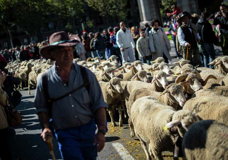 Sheep move through the middle of Madrid. Photo: DANI POZO, AFP/Getty Images / AFP