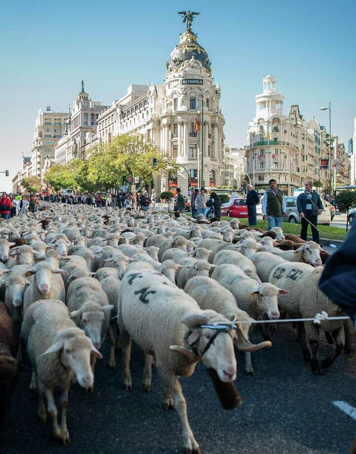 Sheep are mustered through the centre of Madrid on October 28, 2012. Shepherds herded hundreds of sheep to the capital to promote the conservation of the ancient paths of migration (moving flocks from winter to summer pastures) dating back some 8,000 years. Thousand of sheep pass through the city centre, joined by cows and shepherds, marking the annual livestock migration festival which has taken place in the Spanish capital since 1994. AFP PHOTO/ DANI POZODANI POZO/AFP/Getty Images Photo: DANI POZO, AFP/Getty Images / AFP