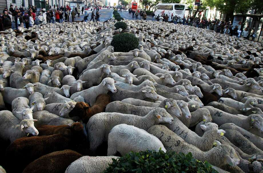 Spaniards are proud of their centuries-old sheep rearing traditions and hold the native Merino breed of sheep in particular esteem. Photo: Andres Kudacki, Associated Press / AP