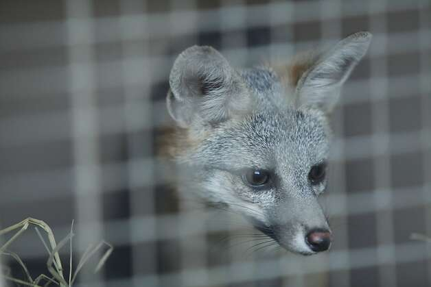 A caged gray fox surveys its new home in East Bay Municipal Utility District watershed near Moraga. Photo: Alex Washburn, Special To The Chronicle