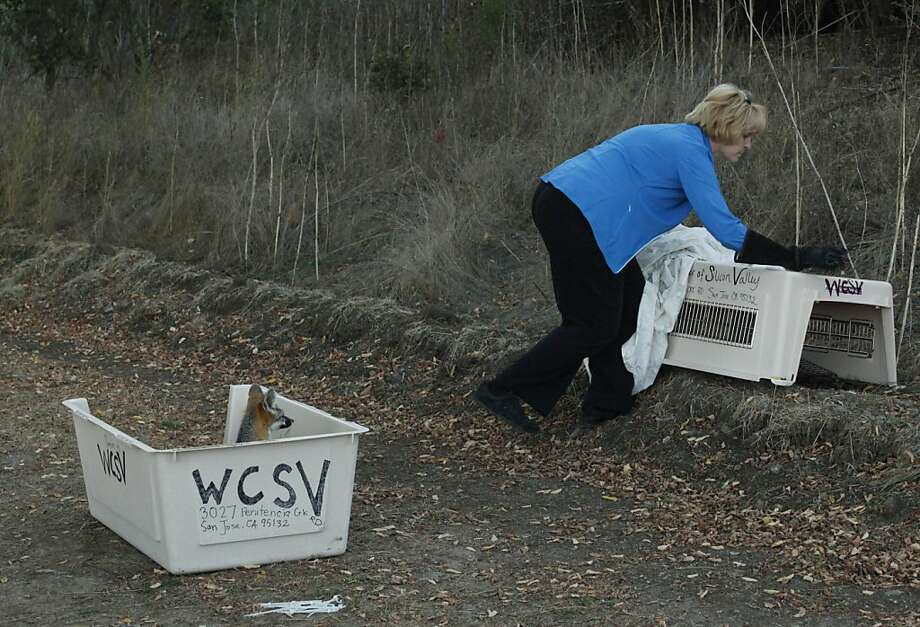Kathy Jones releases the foxes, who were cared for by the Lindsay Wildlife Museum in Walnut Creek and the Wildlife Center of Silicon Valley after they were found in Contra Costa County backyards. Photo: Alex Washburn, Special To The Chronicle