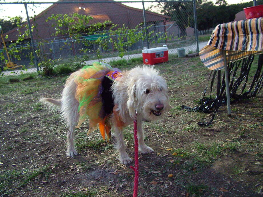 Howloween costume contest at the Hill Country Pet Ranch near Boerne Sunday night. Photo: Pam Howell