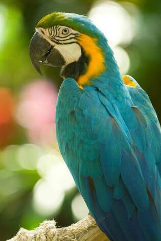 Macaws, large parrots with big personalities, act like they own Moody Gardens' Rainforest Pyramid.  Photo courtesy of Moody Gardens. Photo: San Antonio Express-News