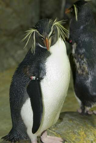 Ringo, one of a band of rockhopper penguins at Moody Gardens, hits a rock-star pose.  Photo courtesy of Moody Gardens. Photo: San Antonio Express-News