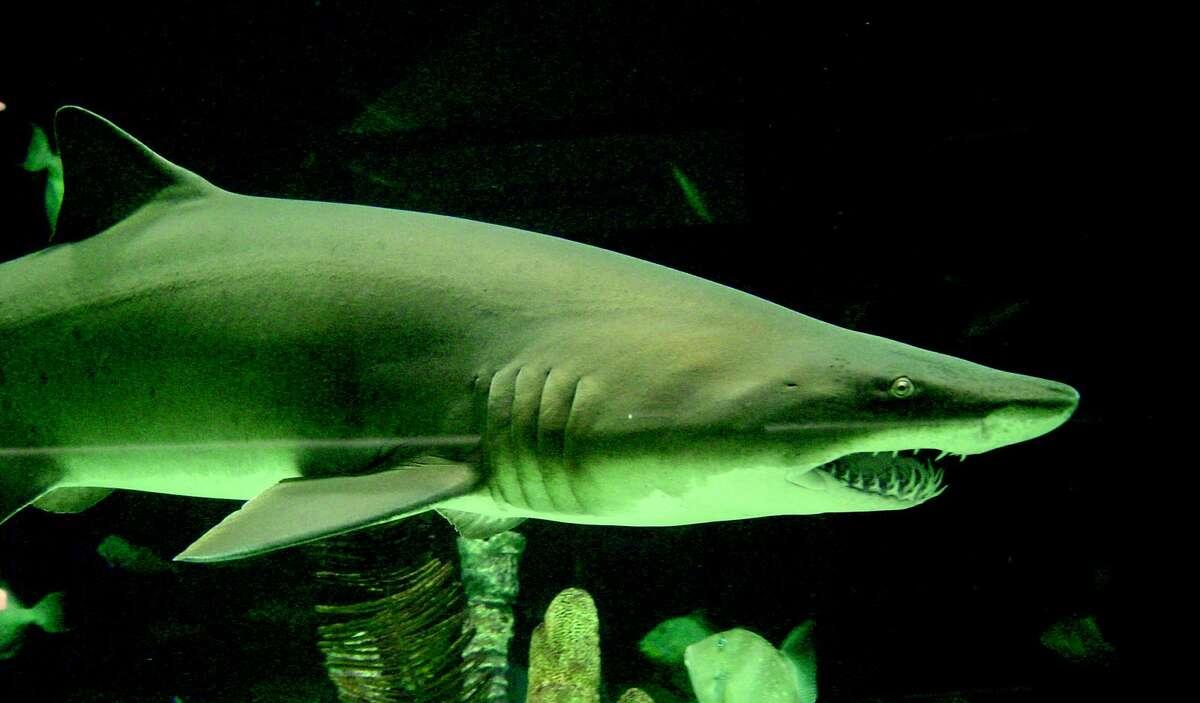 Fish large and small cruise along the glass walls of Moody Gardens' 1,000,000 gallon aquarium.