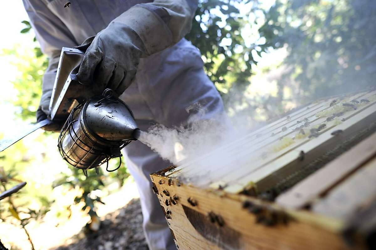 Russel Shaffer, president of the Alameda County Beekeepers Association, uses a smoker as he works with his hives in his backyard in Fremont, CA Friday July 27th, 2012. Russel won an 18-year battle with the city of Fremont and his neighbors to be able to keep bees in his backyard. Fremont, CA Friday July 27th, 2012