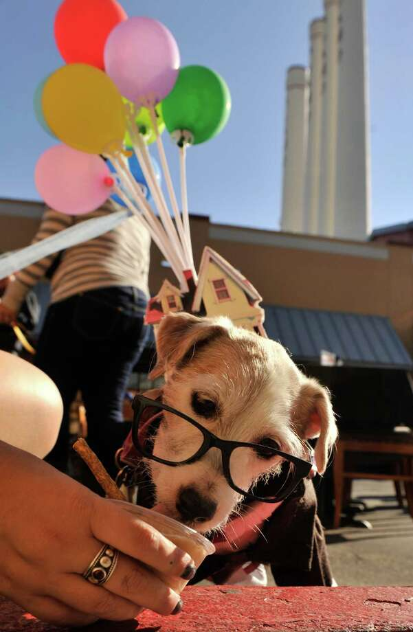 "Sunday, the dog of Hilary Debow, enjoys a ""pupcycle"" made of yogurt and peanut butter during the San Antonio Humane Society fundraiser ""Paws on the Patio"" at the Canyon Cafe Monday. Photo: Robin Jerstad/For The Express-Ne"