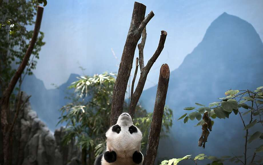 Hey, these mountains are painted on! Jia Jia surveys her limited domain at a zoo in Singapore. She and another giant panda will be moving to a new home - River Safari Singapore - when it opens next year. Photo: Wong Maye-E, Associated Press