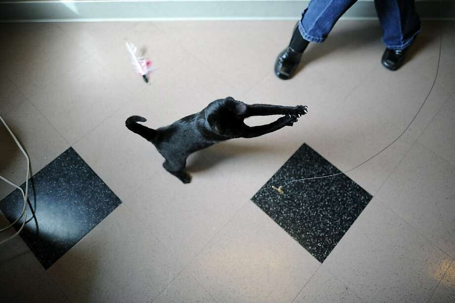 Buster, a 4-month-old male, plays with a cat toy Monday at the Oakland Animal Shelter. Photo: Michael Short, Special To The Chronicle