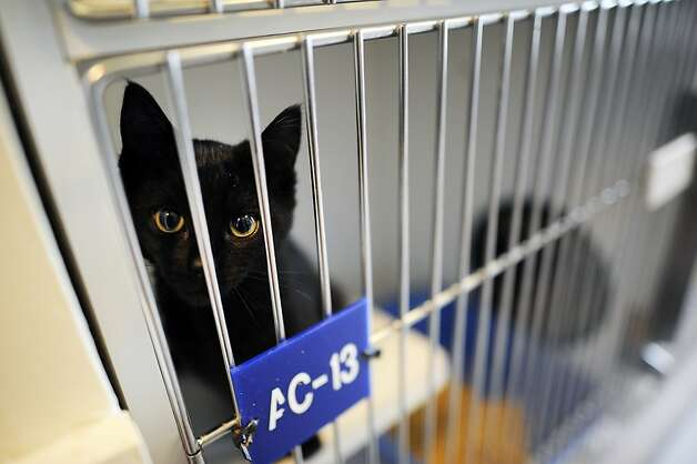 About half the cats at the Oakland Animal Shelter are predominantly black, with similar numbers in San Francisco. Photo: Michael Short, Special To The Chronicle