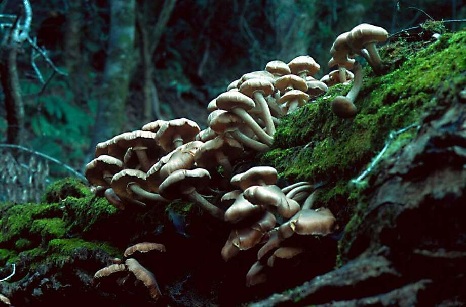 Amlaria mellea, the honey mushroom, persists into February, growing in large clusters at the base of dead and dying trees. They are used like shiitakes. Photo: Chuck Bancroft