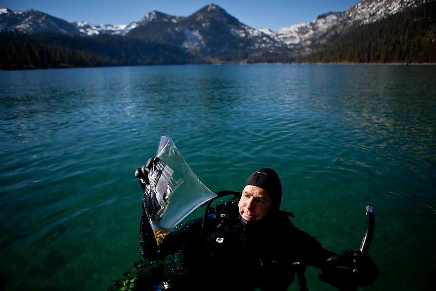 UC Davis researcher Brant Allen dives in Lake Tahoe's Emerald Bay, where Asian clams have proliferat