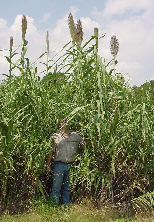 Chuck Bargeron of the University of Georgia stands amid giant reed, also known as arundo donax.