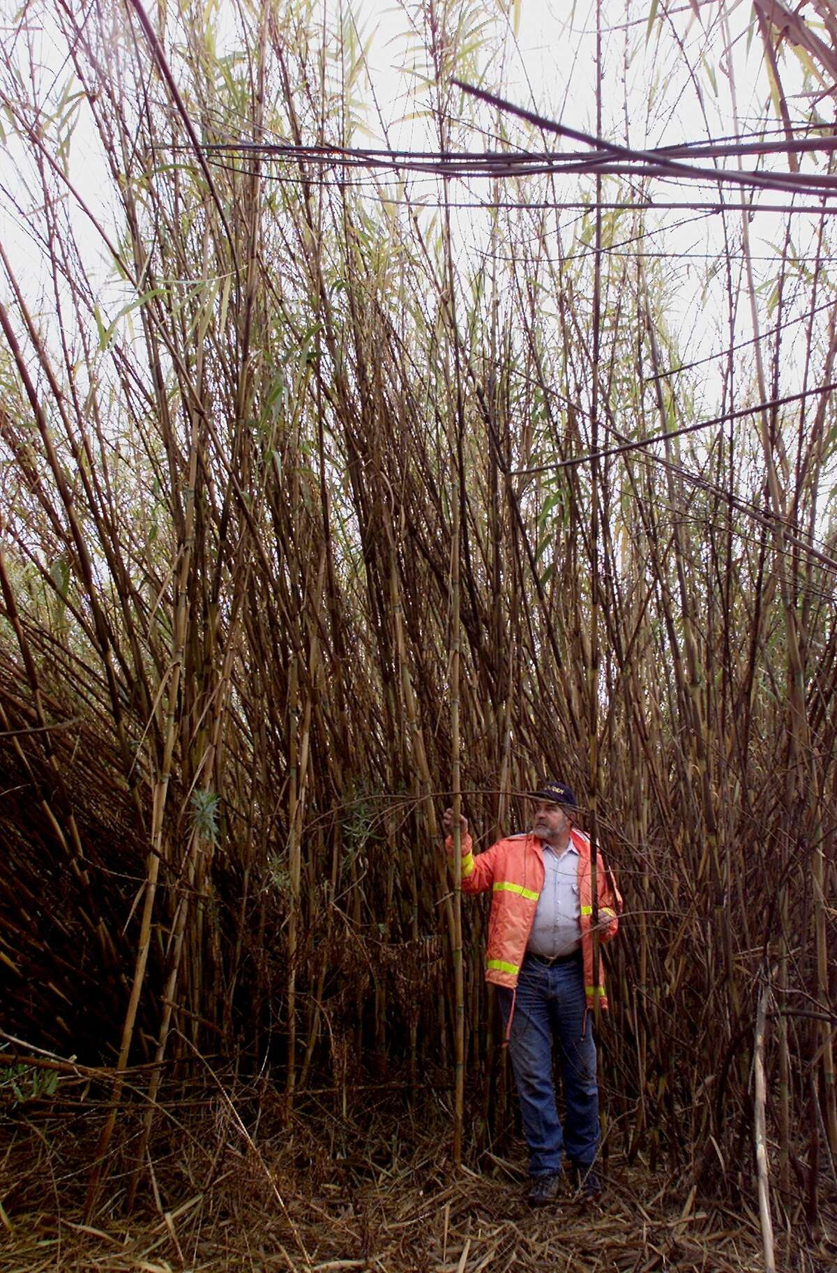 Arundo donax, also known as giant reed, can grow as high as 30 feet in dense stands.