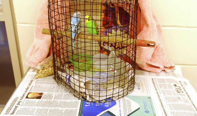 Parakeets perch in their cage at the shelter set up at Jettie Tisdale School in Bridgeport, Conn. on Tuesday October 30, 2012. About 13 dogs along with these birds were housed at the school. Photo: Christian Abraham