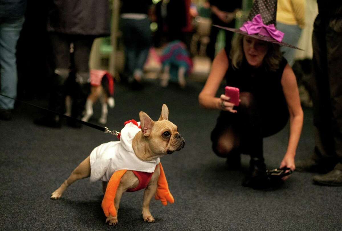 A costumed dog poses during the CityDog Magazine inaugural Howl-at-the-Moon Muttmixer at the Woodmark Hotel in Kirkland on Tuesday, October 30th, 2012. Dozens of dogs in costume attended the event.