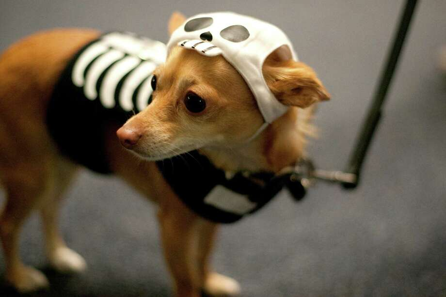 Mari, a chihuahua, is shown during the CityDog Magazine inaugural Howl-at-the-Moon Muttmixer at the Woodmark Hotel in Kirkland on Tuesday, October 30th, 2012. Dozens of dogs in costume attended the event. Photo: JOSHUA TRUJILLO / SEATTLEPI.COM