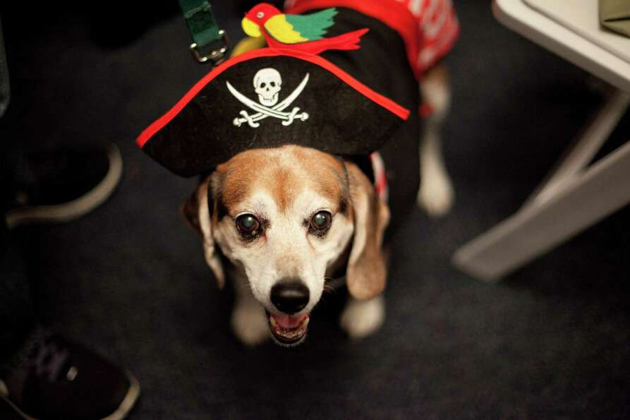 Beagle Wally wears a pirate costume during the CityDog Magazine inaugural Howl-at-the-Moon Muttmixer