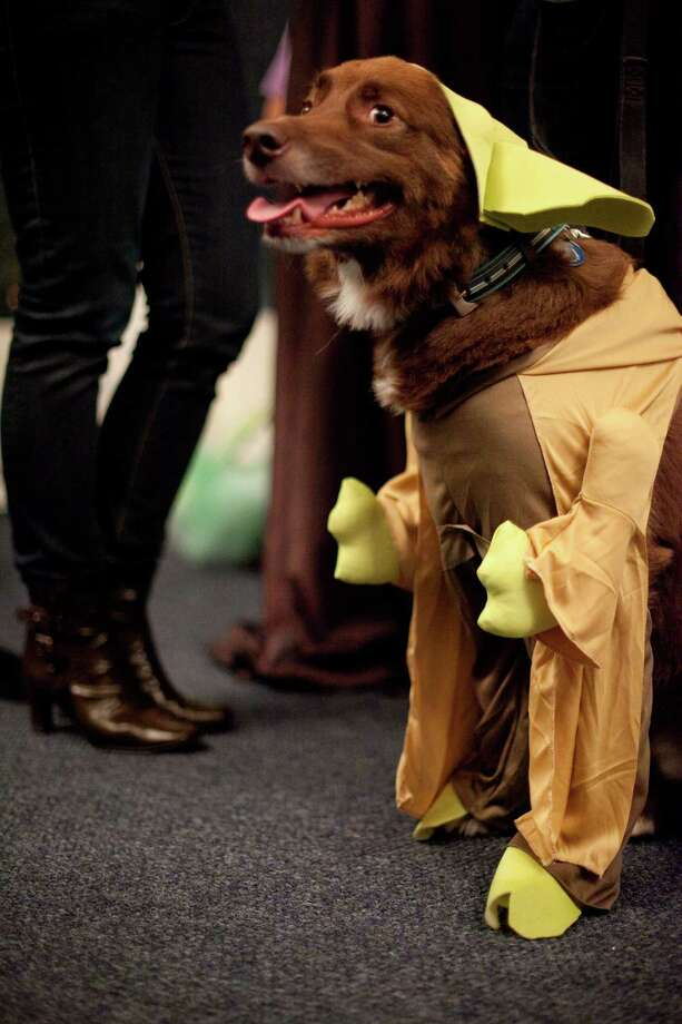 Henry, dressed as Yoda, hangs out during the CityDog Magazine inaugural Howl-at-the-Moon Muttmixer at the Woodmark Hotel in Kirkland on Tuesday, October 30th, 2012. Dozens of dogs in costume attended the event. Photo: JOSHUA TRUJILLO / SEATTLEPI.COM