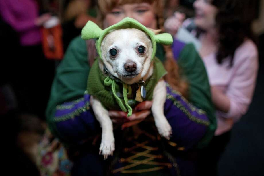Chihuahua Louie, dressed as Shrek, and Cindy Lance, dressed as Fiona, have fun during the CityDog Magazine inaugural Howl-at-the-Moon Muttmixer at the Woodmark Hotel in Kirkland on Tuesday, October 30th, 2012. Dozens of dogs in costume attended the event. Photo: JOSHUA TRUJILLO / SEATTLEPI.COM
