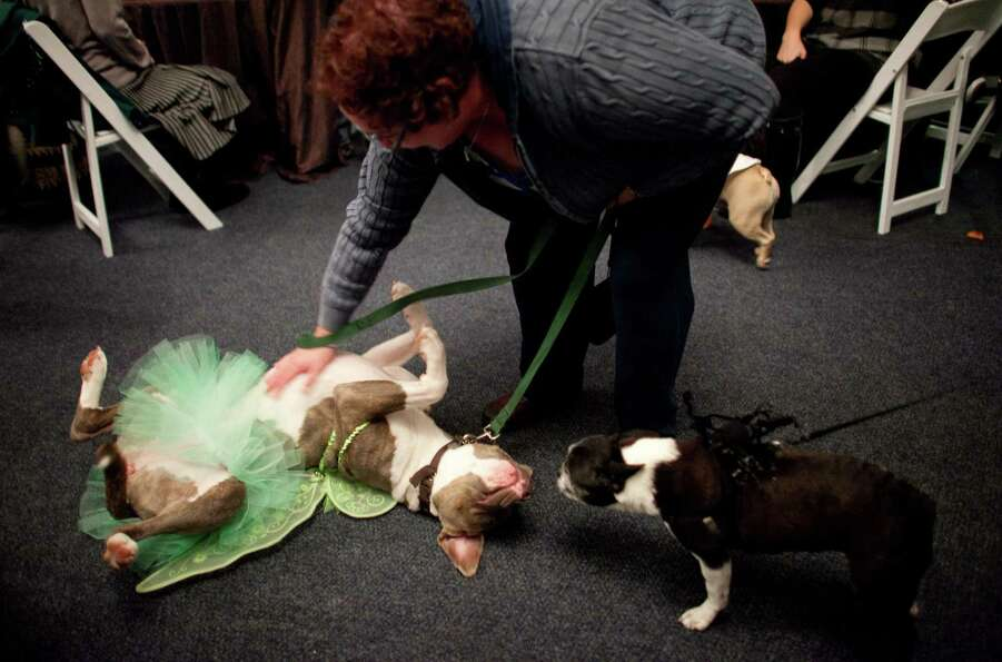 Pitbull mix Gracie Rose demands a belly rub from her owner Valerie Cronquist during the CityDog Maga
