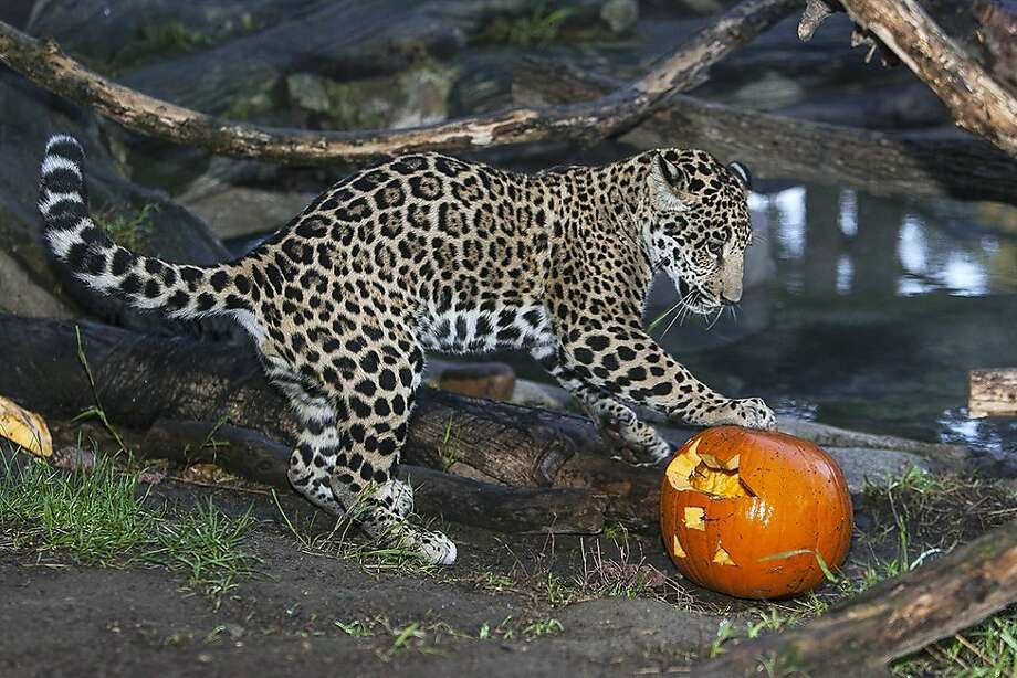 Quick-cornering jaguar:Tikal spears his jack-o'-lantern with his claws to keep it from rolling into the pool of his San Diego Zoo enclosure. Photo: Tammy Spratt, AFP/Getty Images