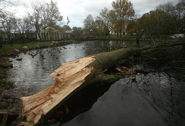 A large ash tree lies in the duck pond behind Milford City Hall in the aftermath of Hurricane Sandy in Milford on Wednesday, October 31, 2012. Photo: Brian A. Pounds