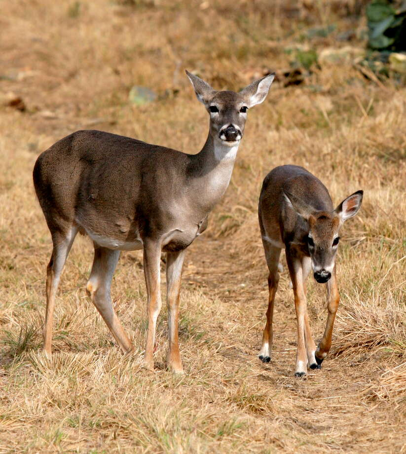 After drought-plagued 2011 saw few fawns born or survive their first few months, Texas deer responded to this year's improved habitat conditions by producing an average or above-average fawn crop that enjoyed higher survival. Photo: Picasa